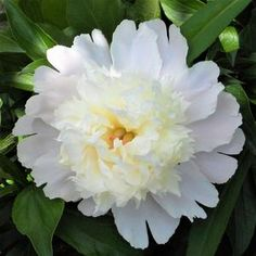 """Long-Lived Peony Bulbs For Sale Online 