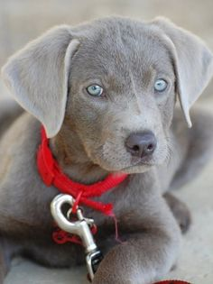 Silver Lab puppy! WANT!!!---yes I have acknowledged that I will be the crazy dog lady!