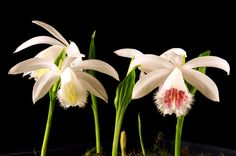 This are pictures of Pleione species and hybrids I am growing. Especially Pleione formosana and it's colorful varieties are easy to grow and have nice flowers. Orchid Varieties, Ways To Show Love, All Plants, Amazing Flowers, Botany, Mother Nature, Habitats, Orchid Flowers, Floral