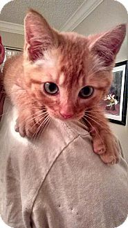 Little Rock, AR - Domestic Shorthair. Meet Rengar, a cat for adoption. http://www.adoptapet.com/pet/11560407-little-rock-arkansas-cat