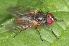 House fly (Muscidae family) male. Needs Identifying: Possibles: Mydaea ancilla