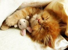 more sleeping cats with stuffed animals