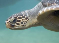 The languid and lovable loggerhead turtle is one of the best known marine wanderers equally at home in coastal waters or drifting slowly in the open ocean. Turtle Beach, Turtle Love, Loggerhead Turtle, Turtle Images, Turtle Painting, Tortoises, Amphibians, Sea Creatures, Under The Sea