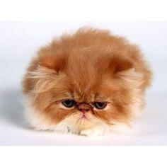 Gatos persa adorables   eHow en Español