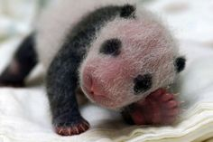 Taipei zoo throws baby-shower for first panda born in Taiwan. I think it is knitted!