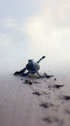 little turtle on the way to the sea - Star - . - A little turtle on the way to the sea – Star – … – sea – -A little turtle on the way to the sea - Star - . - A little turtle on the way to the sea – Star – … – sea – - Cute Baby Animals, Animals And Pets, Funny Animals, Wild Animals, Funny Pets, Animals Images, Nature Animals, Farm Animals, Beautiful Creatures