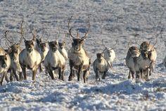visit-a-reindeer-herder