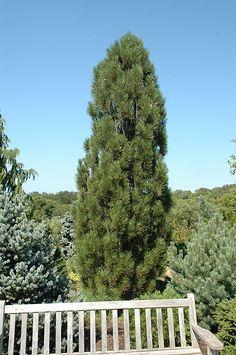 Arnold Sentinel Austrian Pine (Pinus nigra 'Arnold Sentinel') | Lurvey Garden Center | Height: 20 feet | Spread: 5 feet