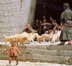 Tibet History | tibetan tibbies and monks the role of the tibetan spaniel