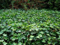 TRÄDGÅRD: ÄLSKAR MURGRÖNA! Murgrönan släpper inte igenom ett ogräs!