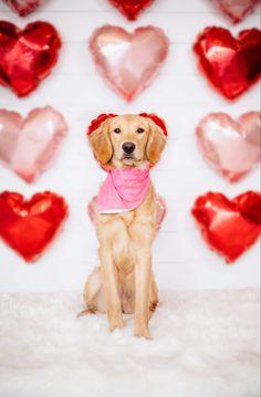 Valentine Mini Session, Valentines Day Dog, Valentine Picture, Valentines Day Pictures, Dog Photos, Dog Pictures, Pet Photographer, No Photoshop, Photoshoot Inspiration
