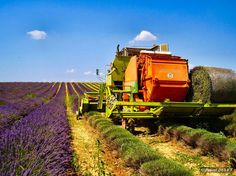 LVA08 - En juillet, récolte du lavandin - Plateau de Valensole - Alpes de Haute Provence 04
