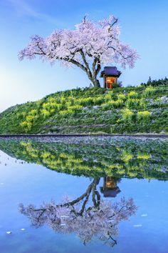 Cherry tree at Tamura-cho, Fukushima, Japan