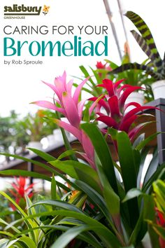 Caring for your #Bromeliad - What are Bromeliads, Caring for your Bromeliad, When it's finished blooming. - By Rob Sproule, Salisbury Greenhouse