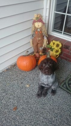 Happy fall from Mhysa! Wirehaired Pointing Griffon
