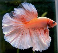 Halfmoon Betta.  credit: http://weheartit.com/entry/54159554