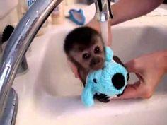 A #CUTE LITTLE TEENY TINY ITTY BITTY LITTLE MINI #BABY #MONKEY TAKING A BATH. SO SWEET.