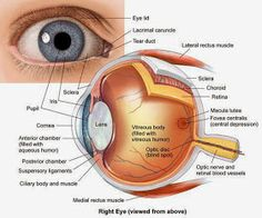 The BioLogs: CSEC - The Eye - functions of the various parts Anatomy Study, Anatomy Reference, Anatomy Drawing, Human Eye Diagram, Eye Anatomy Diagram, Parts Of The Eye, Human Anatomy And Physiology, Medical Coding, Human Body