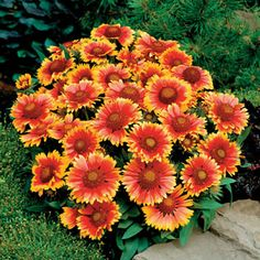 Arizona Sun Blanket Flower Seeds. For 2016 Garden.Genus: Gaillardia Species: x grandiflora Variety: 'Arizona Sun' Item Form: (P) Pkt of 25 seeds Zone: 3 - 10 Bloom Start To End: Late Spring - Late Fall Habit: Upright Seeds Per Pack: 25 Plant Height: 12 in Plant Width: 10 in - 14 in Bloom Size: 4 in