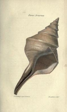 Journal of Natural History / Boston, 1834-1837 Fusus Aruanus