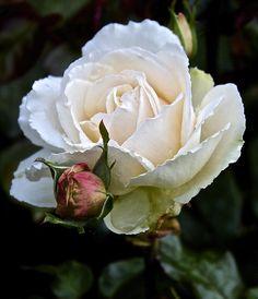 Online Contest - Roses of Autumn