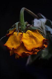 """Absence"" by MarioMoralesRubi, 2013 , Beautiful Flowers, Wilted Flowers, Drying Roses, Midnight Garden, High Art, Natural Forms, Orange Flowers, Art Sketchbook, Digital Paintings"