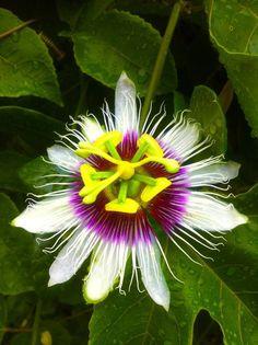 10584057_581959331913796_9199137689661652462_n.jpg Maracuya-Pasiflora-Pasionaria.