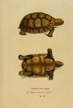 Animalia nova sive species novae testudinum et ranarum :.  Monachii :F.S. Hbschmanni,1824