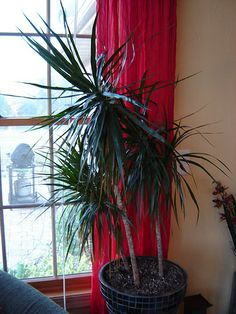 Another beauty from Madagascar: dracaena marginata (dragon tree) Mine is around years older than this one. My favorite of all my house plants. Dragon Tree Care, Madagascar Dragon Tree, House Plant Care, Container Gardening, Indoor Gardening, Shade Plants, Planting Succulents, Houseplants, Indoor Plants