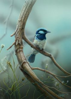 """""""Splendid Fairy Wren"""" - artwork by Christopher Pope - now available as fine art reproductions - http://www.artreproductions.com.au/gallery.php?artid=2353"""