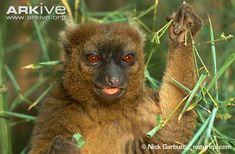 Greater bamboo lemur photo - Prolemur simus - G114119 | ARKive