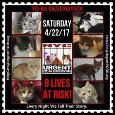 "TO BE DESTROYED 4/22/17 - - Info  Please share View tonight's list here: http://nyccats.urgentpodr.org/tbd-cats-page/. The shelter closes at 8pm. Go to the ACC website( http:/www.nycacc.org/PublicAtRisk.htm) ASAP to adopt a PUBLIC LIST cat (noted with a ""P"" on their profile) and/or … CLICK HERE FOR ADDITIONAL…Please…Please...-  Click for info & Current Status: http://nyccats.urgentpodr.org/to-be-destroyed-32017/"