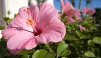 How to Move a Perennial Hibiscus