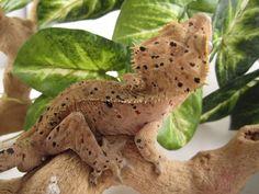 Crested Gecko Morph Guide | The Gecko Geek