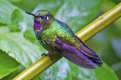 Tourmaline Sunangel in Ecuador, by Dave Wendelken