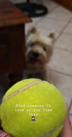 Orfeas Westie West Highland Terrier, Look At You, Westies, Tennis, Sports, Hs Sports, Sport