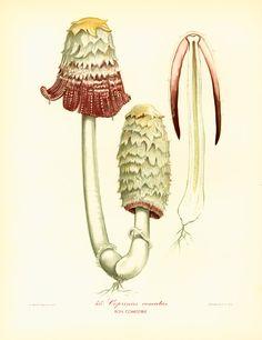 Coprinus comatus Champignons Planche Originale par sofrenchvintage