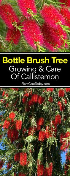 Bottle Brush tree Callistemon belongs to the Myrtaceae family Bottlebrush plants and shrubs flower spikes are shaped like a bottlebrush LEARN Florida Landscaping, Florida Gardening, Front Yard Landscaping, Landscaping Ideas, Landscaping Shrubs, Garden Shrubs, Lawn And Garden, Shaded Garden, Trees And Shrubs