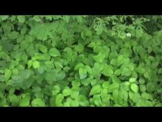 herbalist jim mcdonald praises poison ivy at the International Herb Symp...