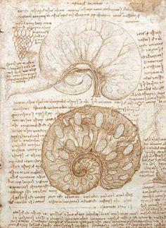 Drawing of the uterus of a pregnant cow (Milan, 1508) - Leonardo da Vinci
