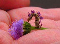 Milagres do mimetismo: a lagarta-flor Synchlora areata