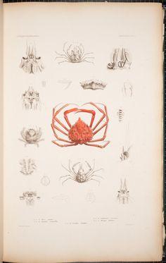 Atlas - Crustacea. - Biodiversity Heritage Library