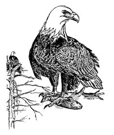346 Best EAGLE DRAWING AND PAINTING Images Eagle