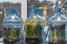 Plant bulbs in a water cooler - neat idea!