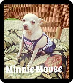 Brownsville, TX - Chihuahua Mix. Meet Minnie Mouse, a dog for adoption. http://www.adoptapet.com/pet/13540371-brownsville-texas-chihuahua-mix