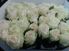 #Rose #Rosa #Snowfox:Available at www.barendsen.nl