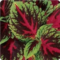 Kong™ Red Coleus, Premium Shade plant with exceptionally large leaves that I just ran across in the nursery of Walmart.  Named Kong because this plant has larger leaves than I have ever seen on a coleus plant previously.  Great for brightening the shaded areas in backyard.