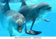 Ocean Life - Couple of dolphins swimming in the blue water. by eZeePics Studio, via ShutterStock