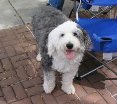old english sheepdog photo | Old English Sheepdog | Flickr - Photo Sharing!