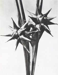 from Karl Blossfeldt Photogravures Urformen der Kunst 1929 Karl Blossfeldt, Atelier Theme, Natural Form Art, Poesia Visual, Art Plastique, Botanical Prints, Natural World, Light In The Dark, Art Nouveau
